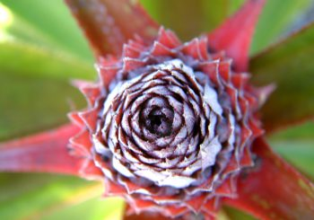 Ananasblüte Foto Manja Knaack